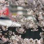 飛鳥山公園のお花見ができる期間は?桜の見ごろやアクセス方法について