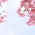 本土寺のお花見の見どころについて。アクセス方法や開催期間を知っておこう