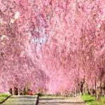日中線記念自転車歩行者道のしだれ桜の見ごろとオススメスポット、アクセス方法について