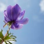 アネモネの花言葉で意識する自分の心の真実