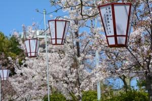 おのみち俳句まつりの桜