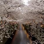 目黒川でお花見をするなら見所は?穴場スポットやアクセス方法を紹介