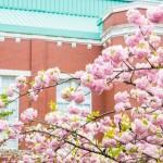 明治時代から続く造幣局の桜の通り抜け、開花の日程と穴場スポットについて