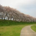 淀川河川公園背割堤地区でお花見をするなら知っておきたい情報が満載!