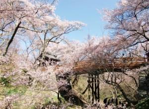 橋から見る桜