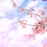 桜とおいらん道中の饗宴!?つばめ桜まつりとは