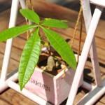 パキラをハイドロカルチャーで栽培してみよう