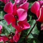 シクラメンの育て方と植え替え方のポイント